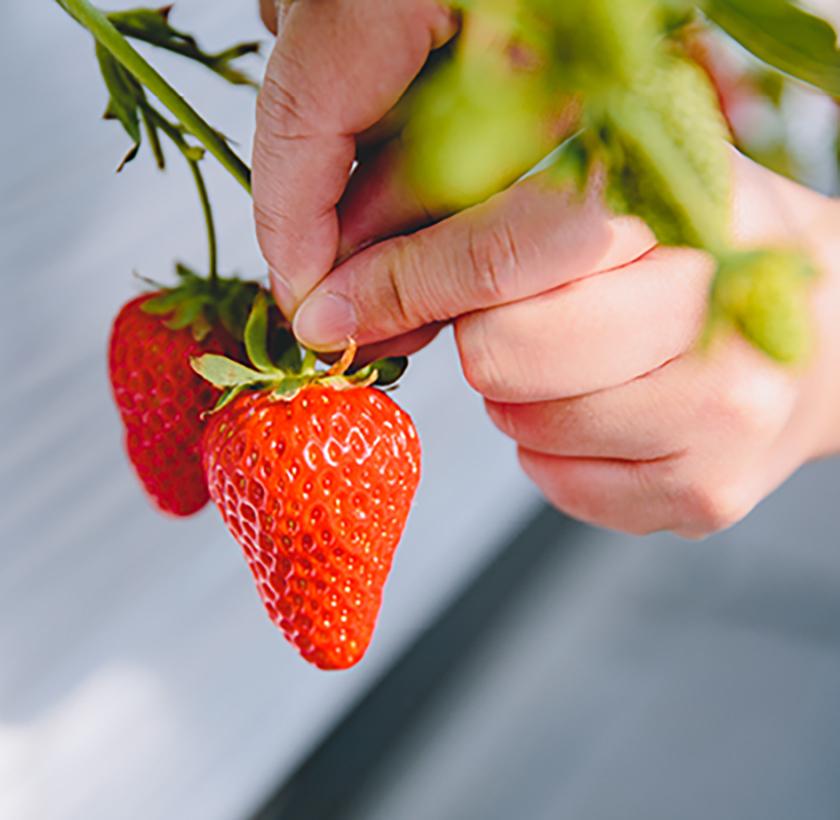 いちごは、果肉に触れずそっと収穫するのが大事