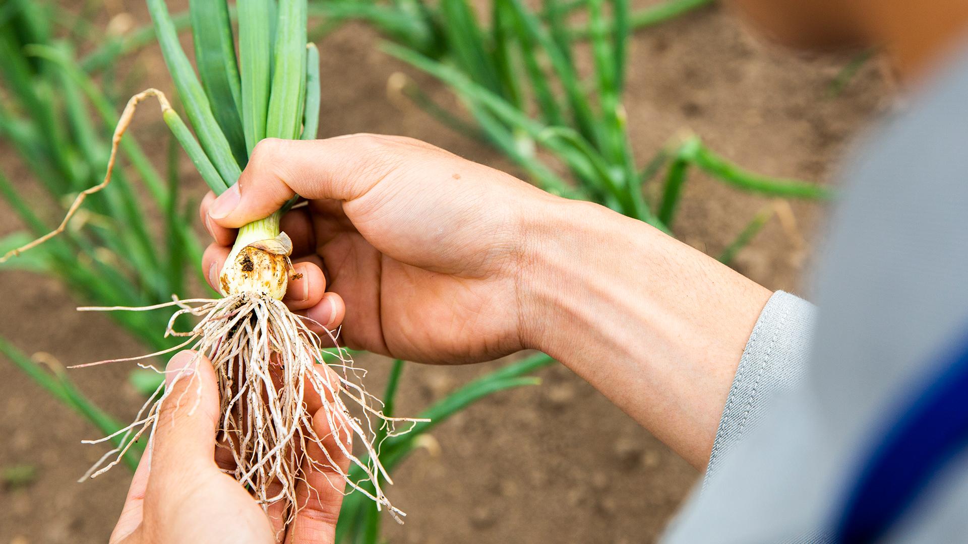 玉ねぎって、根、茎、葉?