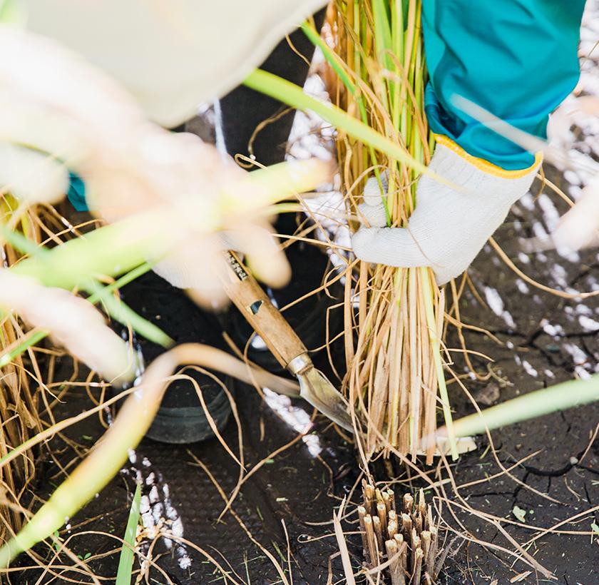 「くるるの杜」の田んぼで稲刈りを初体験!