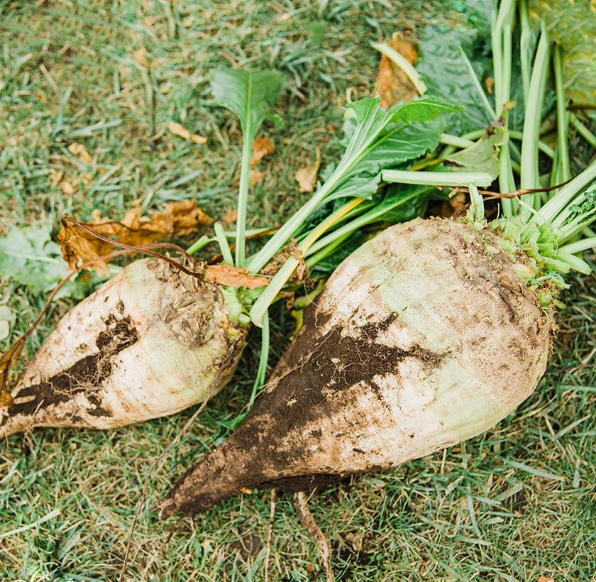 いざ、畑へ! 格闘の末に土から巨大なてん菜が出現