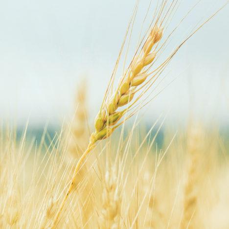 個性が香る、北海道小麦。