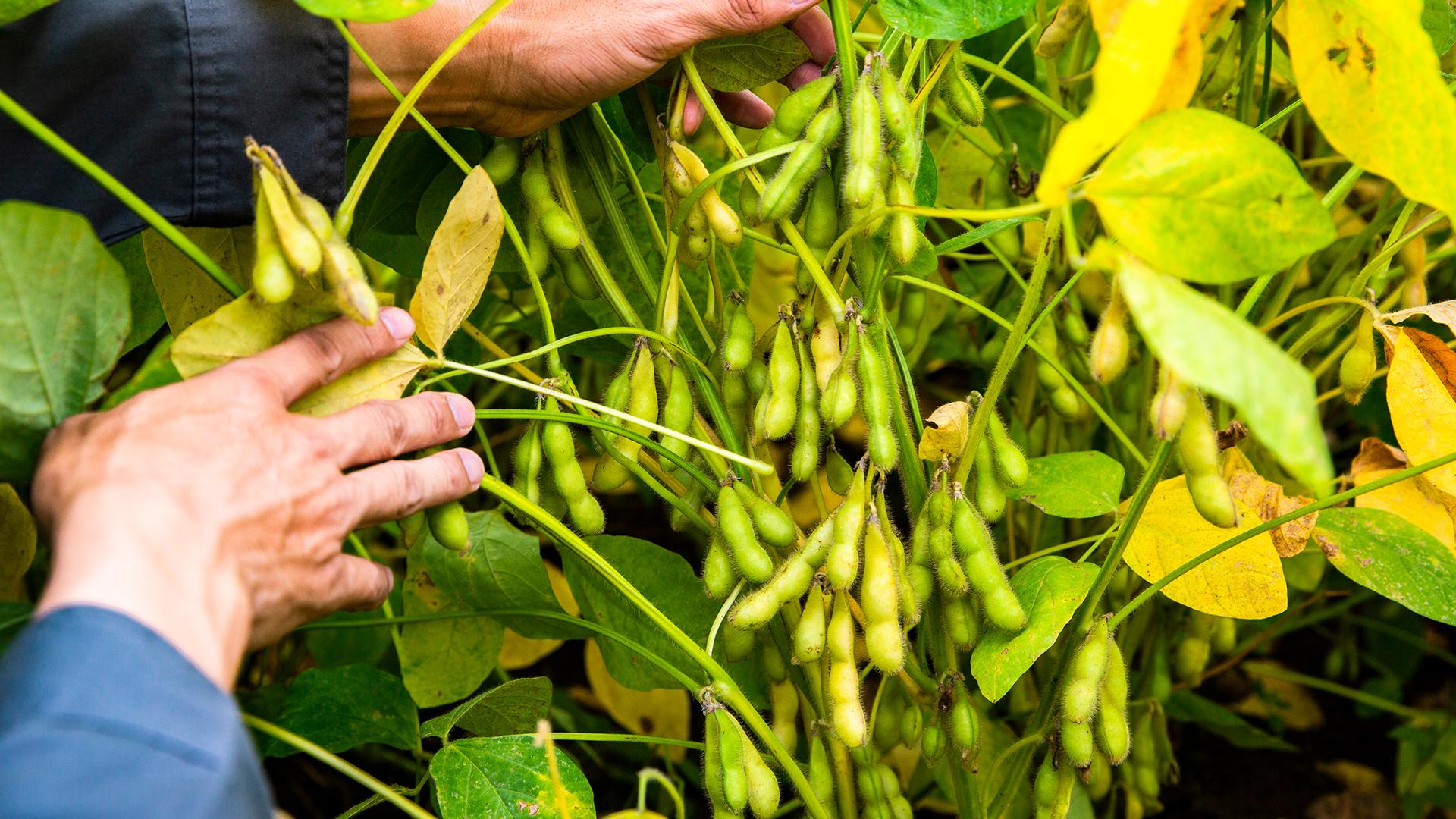GREEN WEB|大豆「とよまどか」