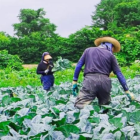 ブロッコリー農家のお仕事