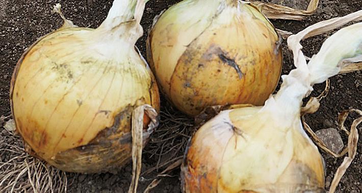 玉ねぎの品種学